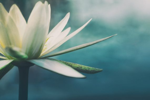 White lotus flower in front of a teal ocean