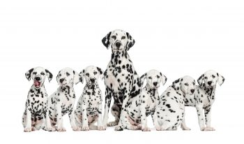 Adult dalmatian dog with six dalmation puppies